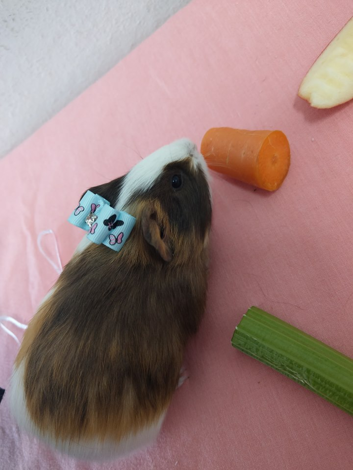 Standard X Guinea Pig Female Light Brown And White Head To Tail Pets