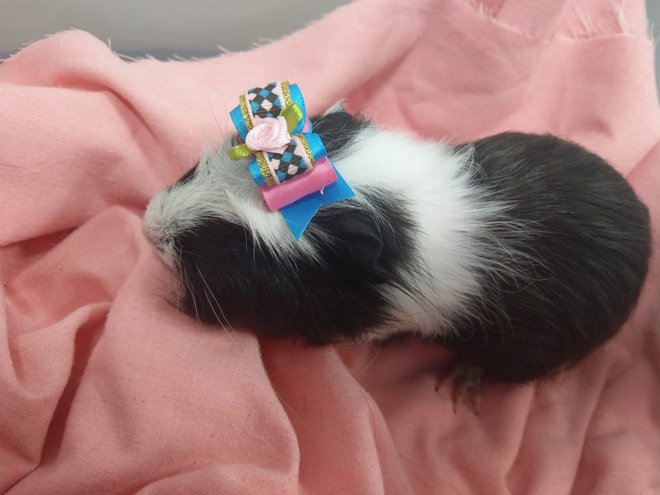 Standard X Guinea Pig Male Black And White | Head to Tail Pets